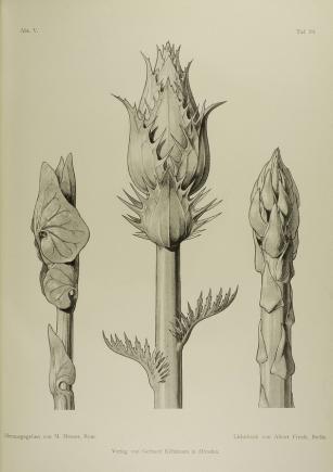 Moritz Meurer, Pflanzenformen, 1895, Tafel 70, © Kunstbibliothek – Staatliche Museen zu Berlin / Saturia Linke